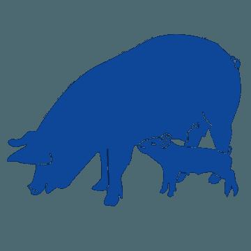 porcino etapa maternidad